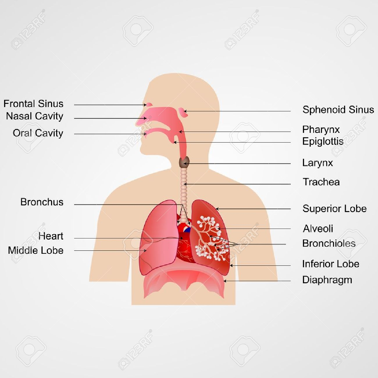 label the following diagram of respiratory system electric boiler wiring diagrams vector illustration with royalty free