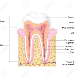 vector vector illustration of human tooth anatomy with label [ 1300 x 1300 Pixel ]