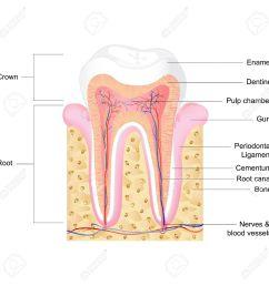 vector illustration of human tooth anatomy with label royalty free tooth anatomy label tooth diagram [ 1300 x 1300 Pixel ]
