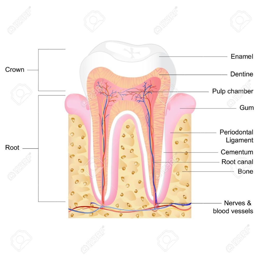 medium resolution of vector vector illustration of human tooth anatomy with label