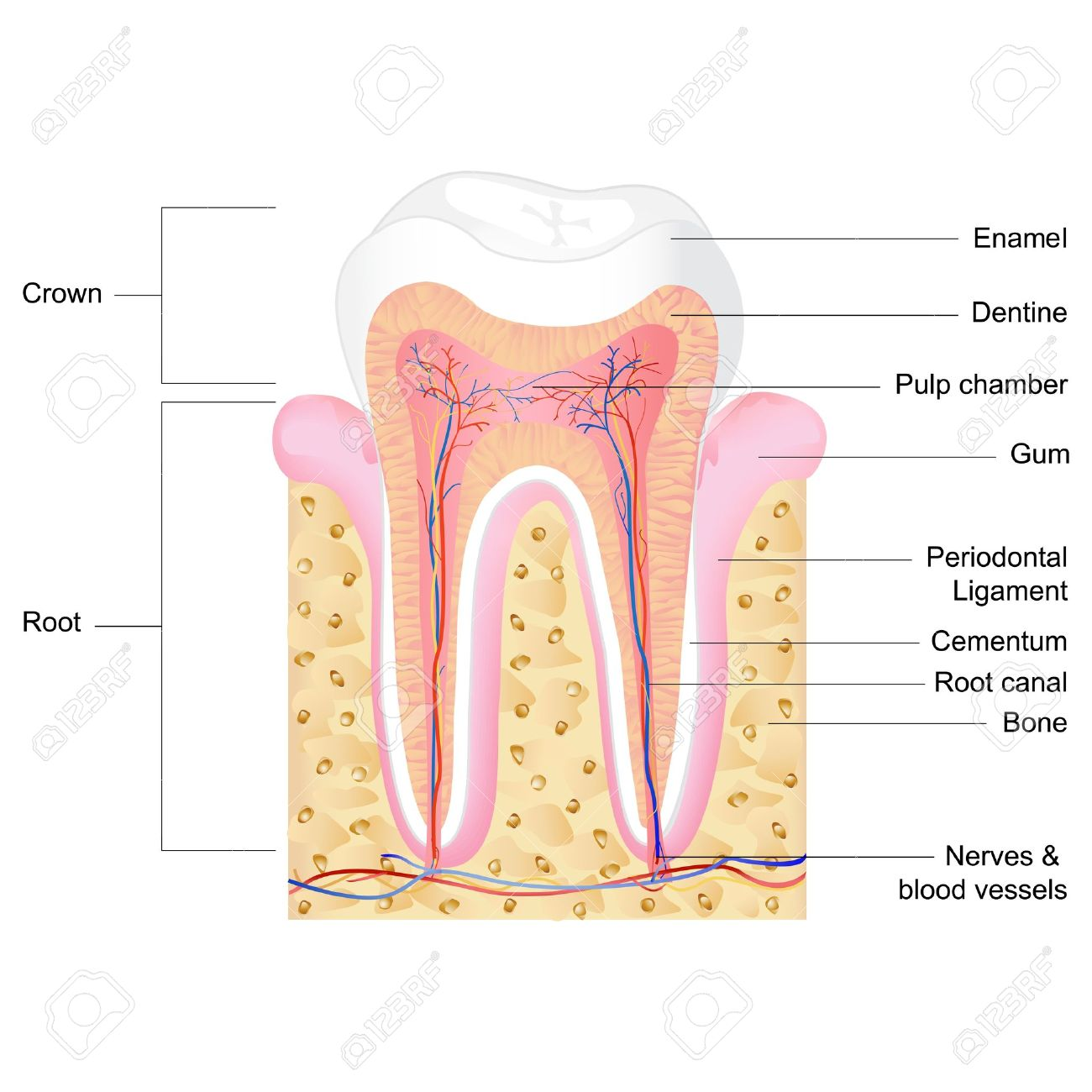 hight resolution of vector vector illustration of human tooth anatomy with label