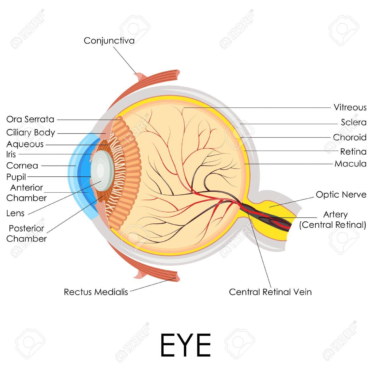 hight resolution of vector illustration of diagram of human eye anatomy stock photo rh 123rf com eye diagram label
