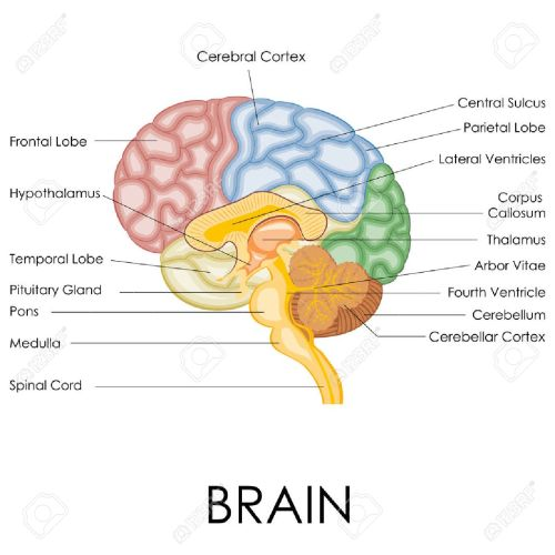small resolution of vector vector illustration of diagram of human brain anatomy