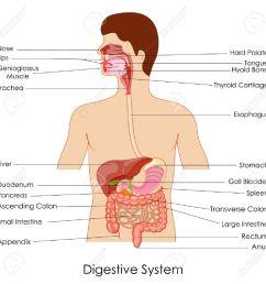 vector vector illustration of diagram of digestive system [ 1300 x 1300 Pixel ]