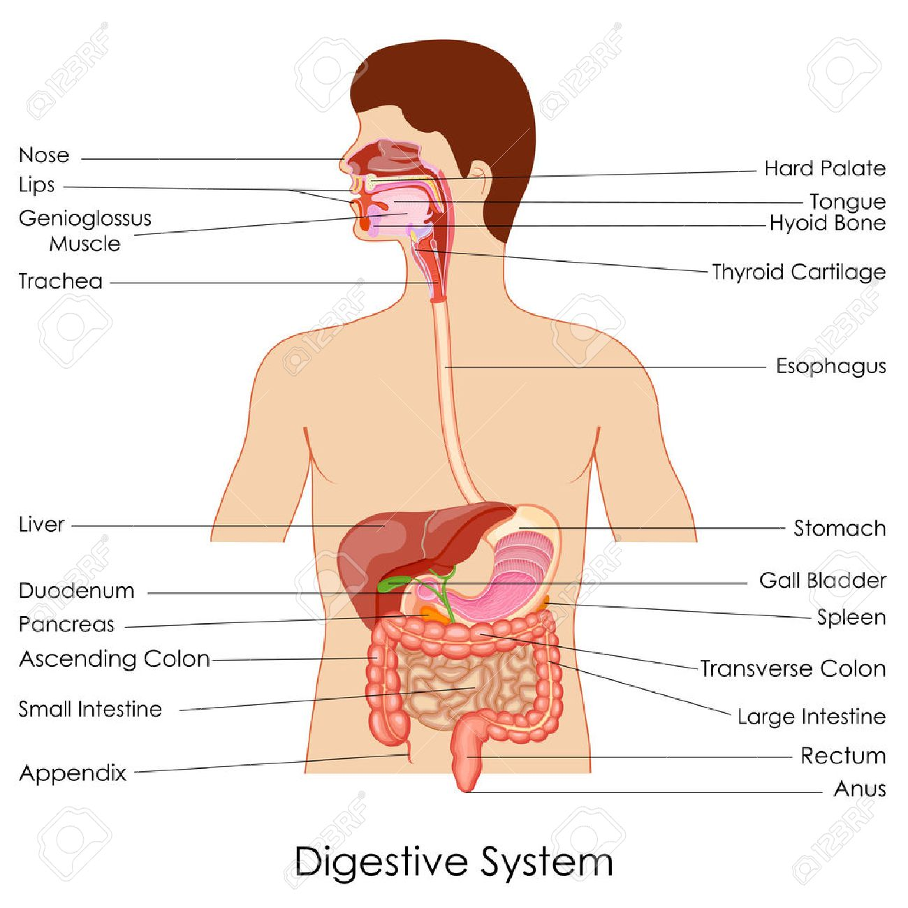 hight resolution of vector vector illustration of diagram of digestive system