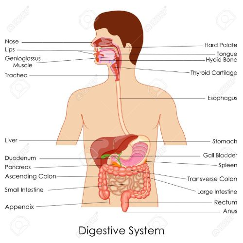 small resolution of vector vector illustration of diagram of digestive system