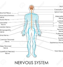 vector vector illustration of diagram of nervous system [ 1300 x 1300 Pixel ]