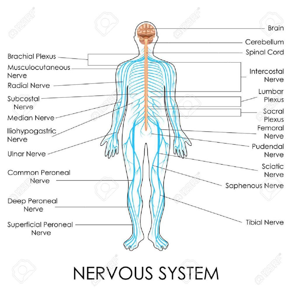 medium resolution of vector vector illustration of diagram of nervous system
