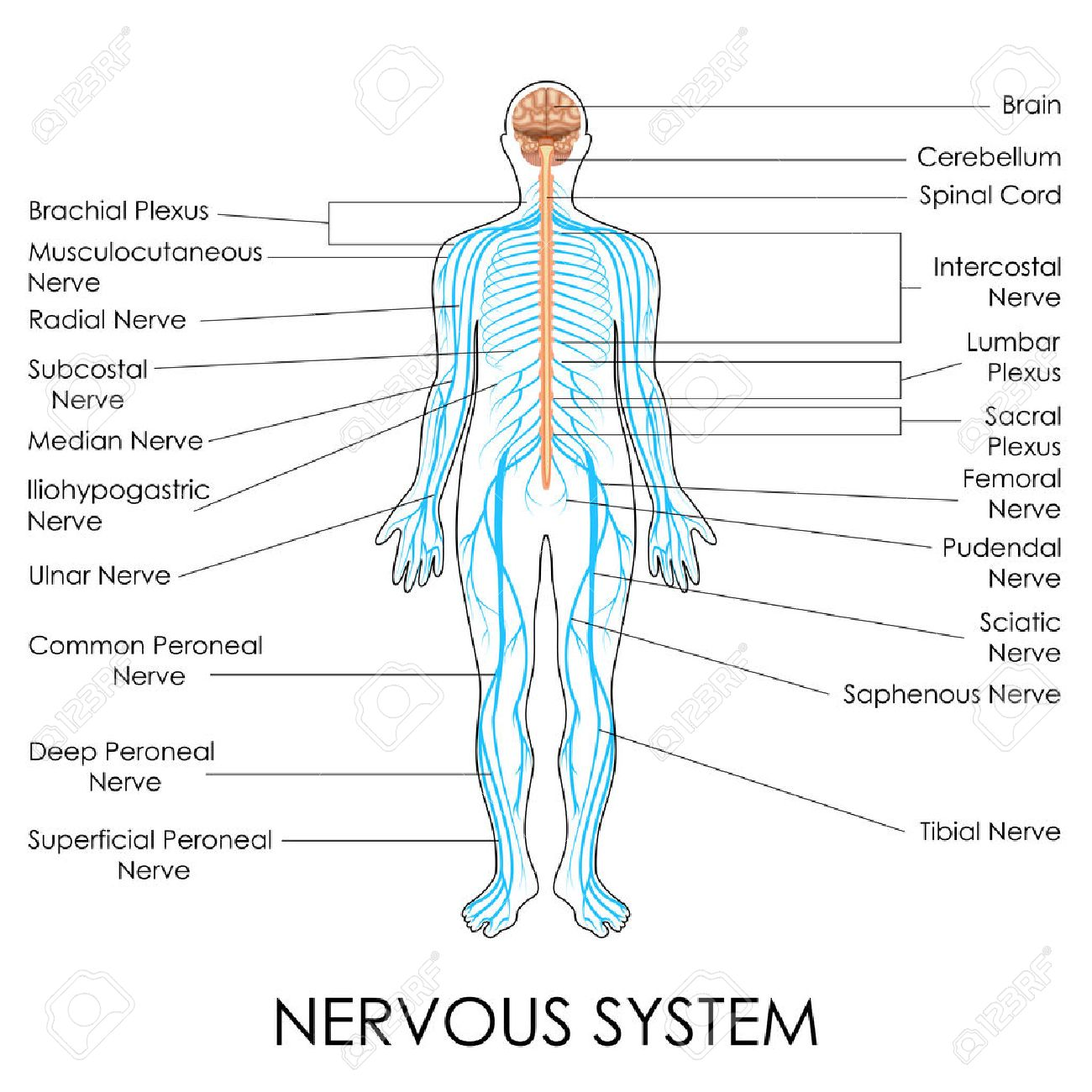 hight resolution of vector vector illustration of diagram of nervous system