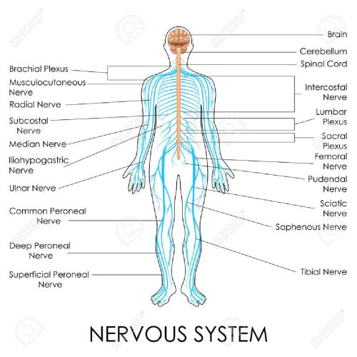small resolution of vector vector illustration of diagram of nervous system