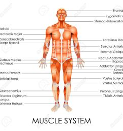 vector vector illustration of diagram of muscular system [ 1300 x 1300 Pixel ]