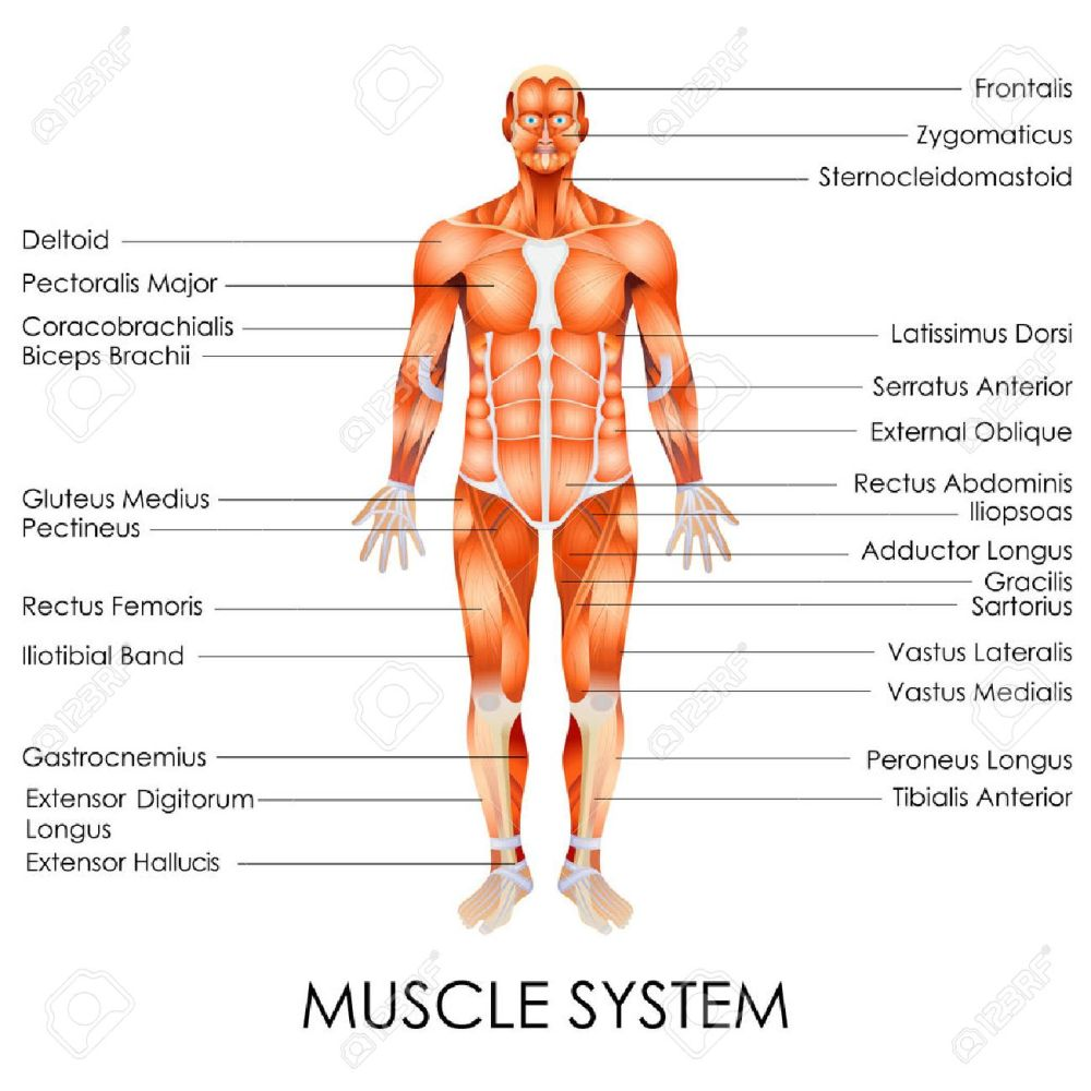 medium resolution of vector vector illustration of diagram of muscular system