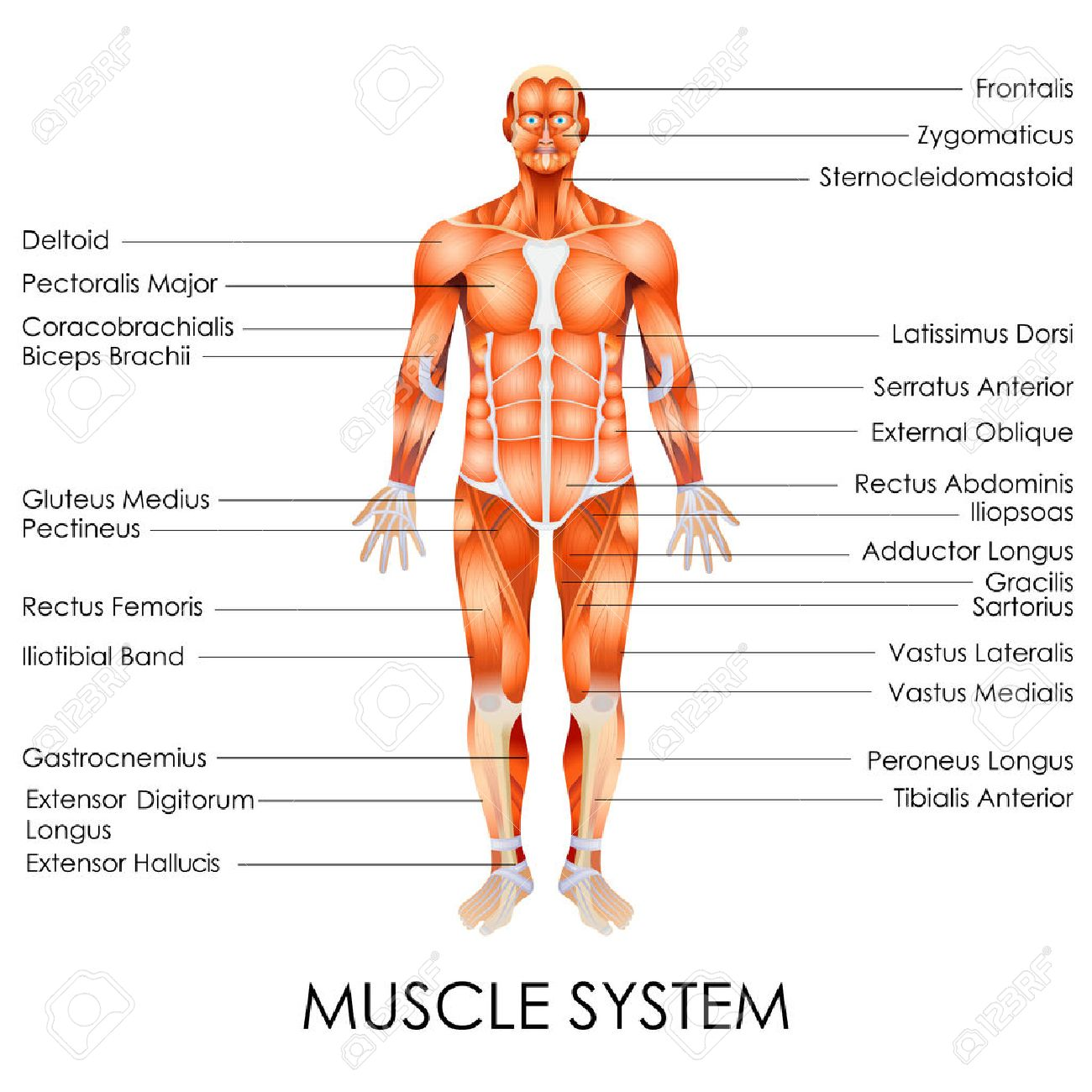 hight resolution of vector vector illustration of diagram of muscular system
