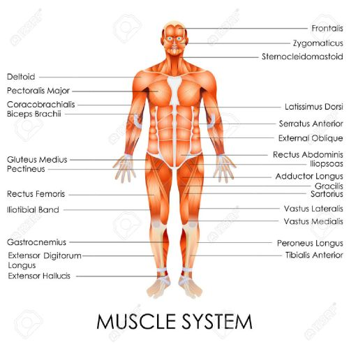 small resolution of vector vector illustration of diagram of muscular system