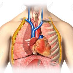 Heart Diagram Inside Structure Of The Eye With Labels Male Chest Organs Wiring Online Anatomy Thorax Veins Arteries And Stock