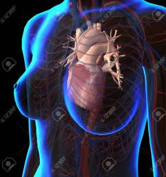 stock photo x ray view of female chest with heart and circulatory system [ 1300 x 1300 Pixel ]