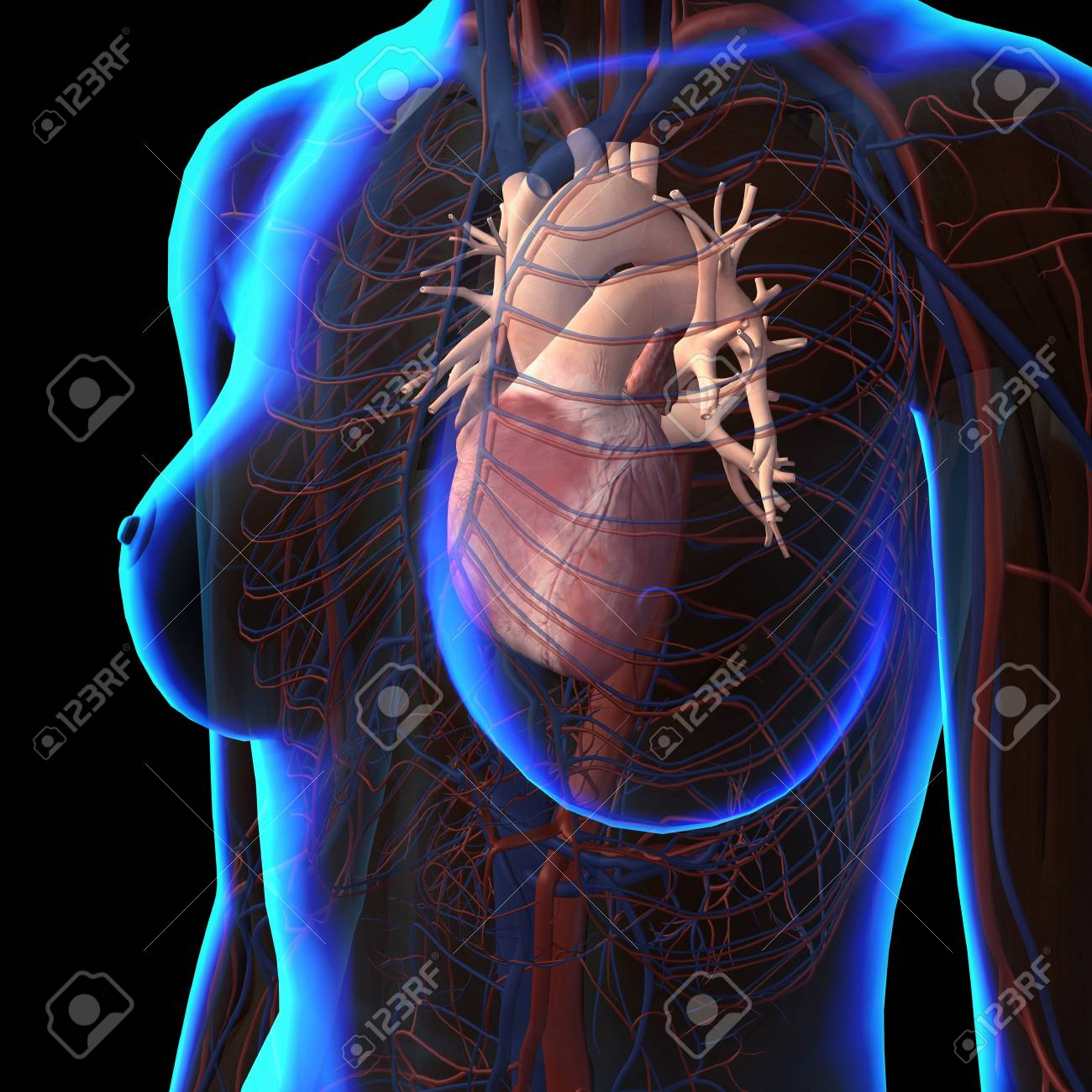hight resolution of stock photo x ray view of female chest with heart and circulatory system