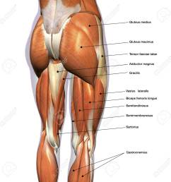 rear view of female hip and leg muscles with labels stock photo leg muscles diagram labeled leg muscles diagram [ 1300 x 1300 Pixel ]