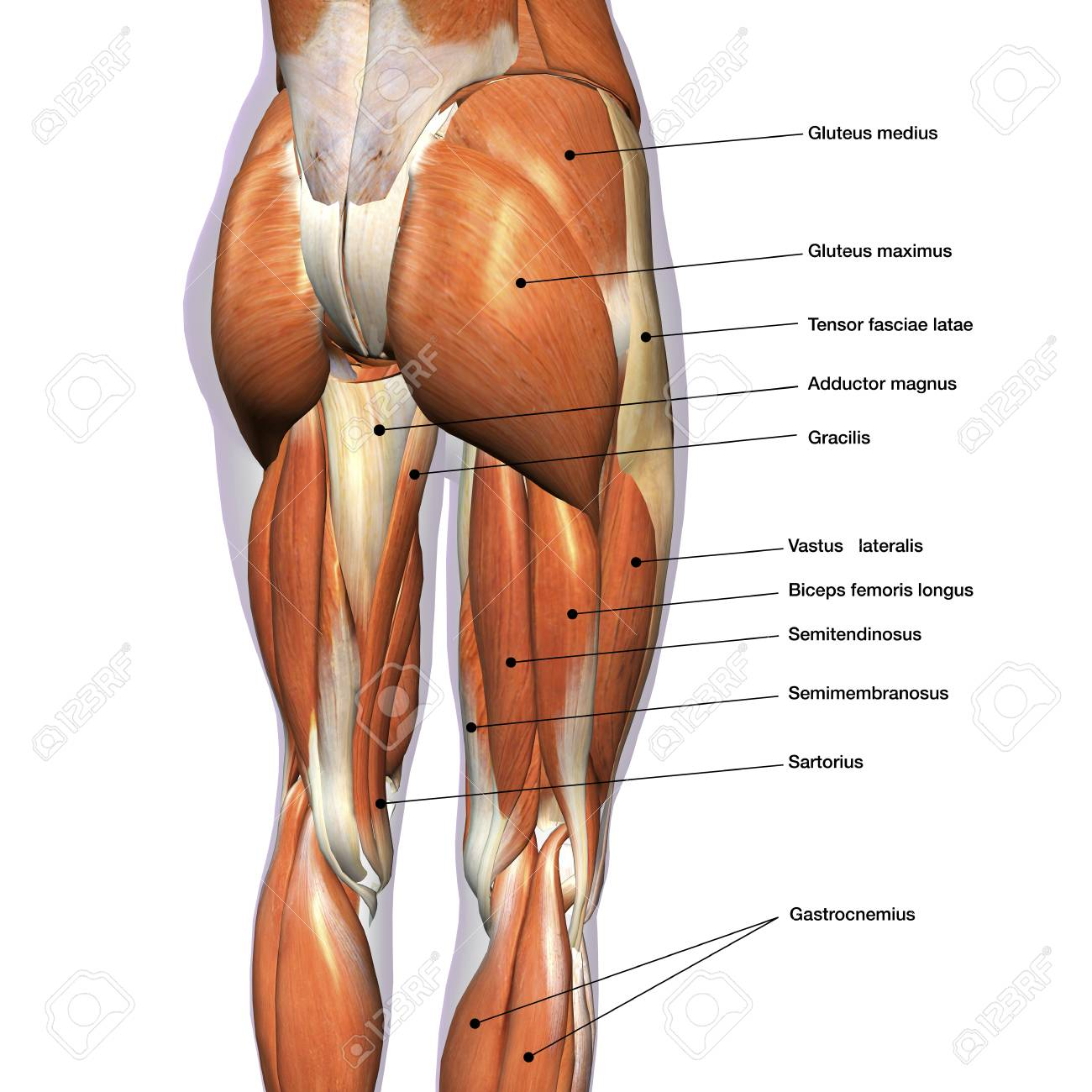 hight resolution of rear view of female hip and leg muscles with labels stock photo leg muscles diagram labeled leg muscles diagram