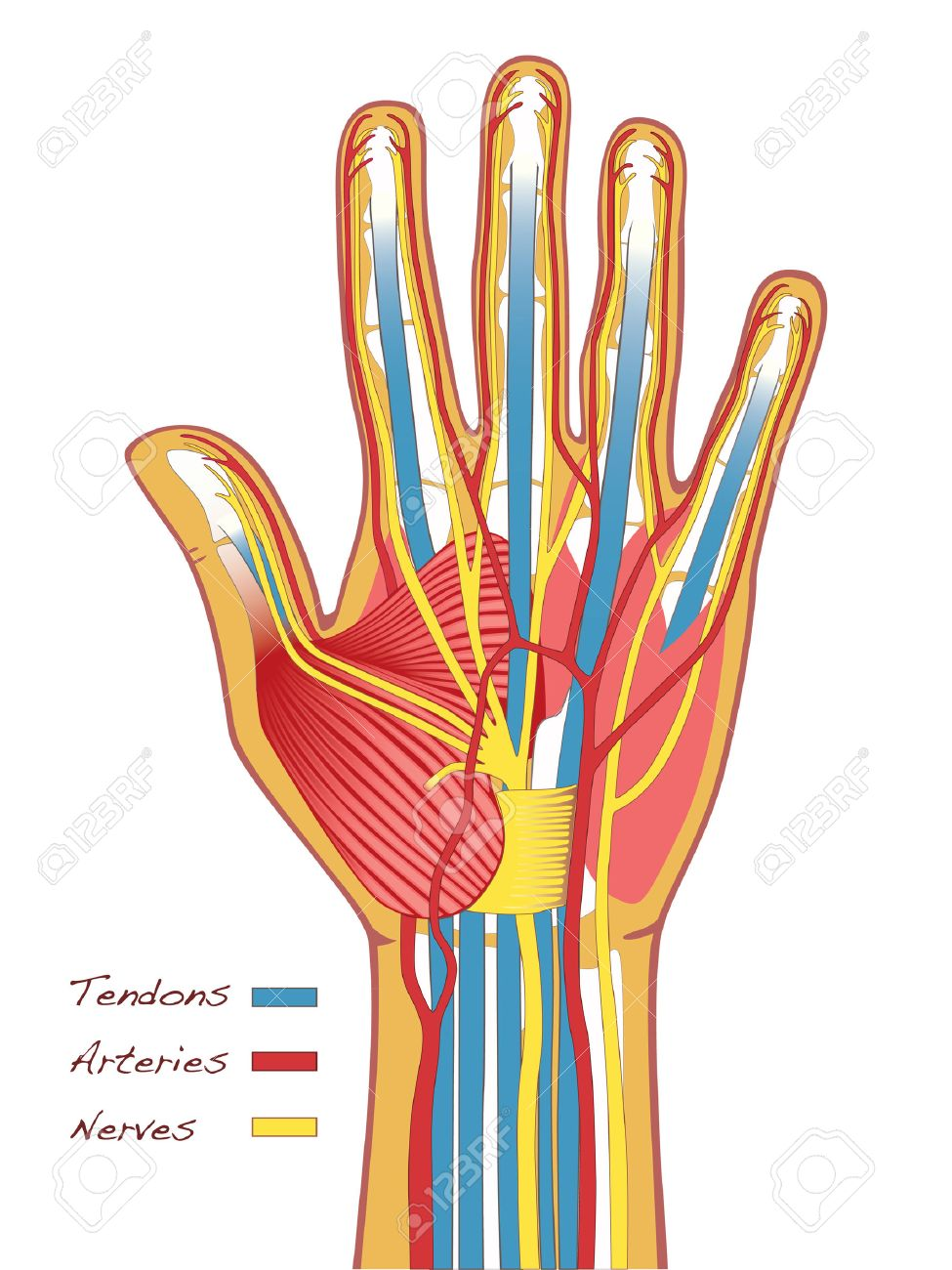 hand nerves diagram submersible pump control box wiring for 3 wire single phase the human hands anatomy with tendons arteries and royalty stock vector 37208381