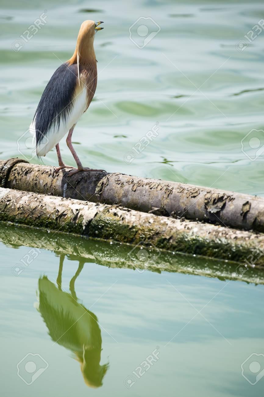 banque d images tang heron oiseau debout sur bois rond dans l eau