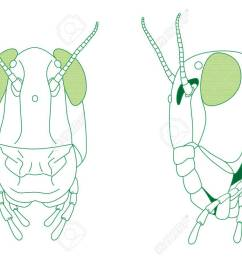 front and side view of grasshopper head vector diagram stock vector 87110846 [ 1300 x 919 Pixel ]