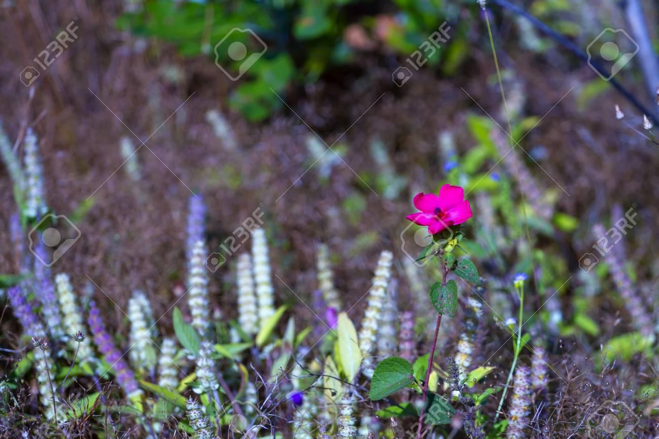 melastomataceae osbeckia stellata ham