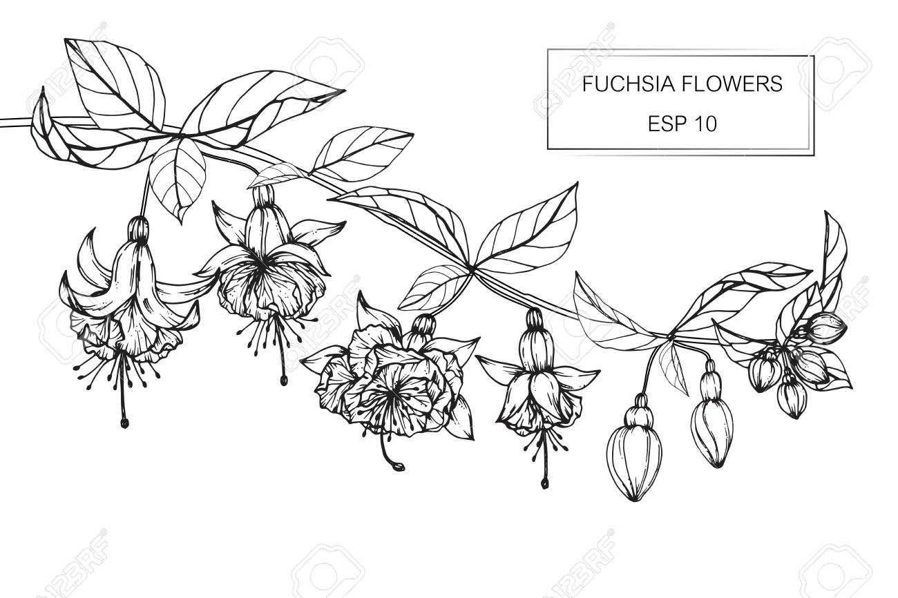 fuchsia flowers drawing and