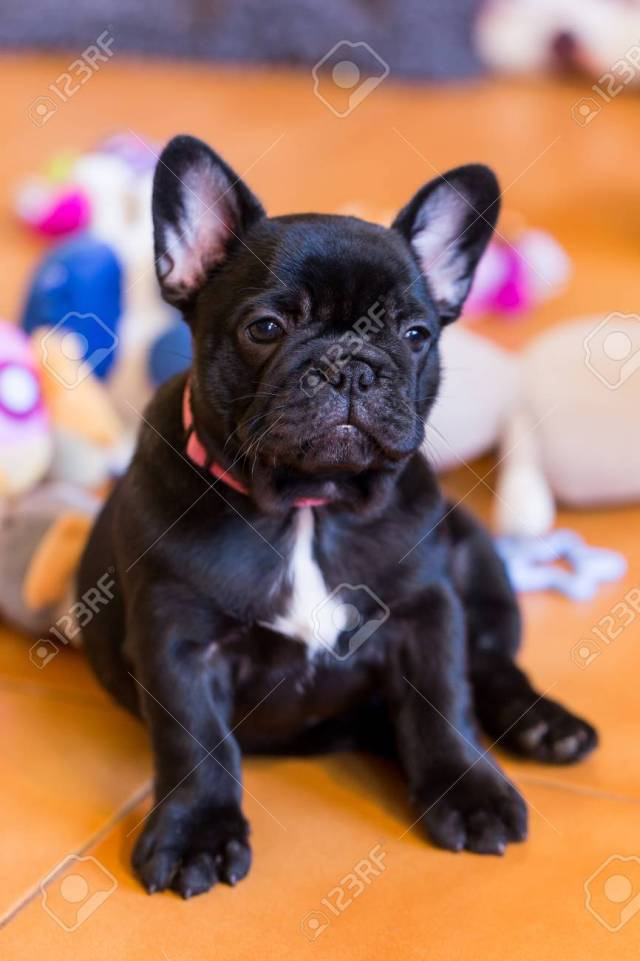 small black french bulldog puppy