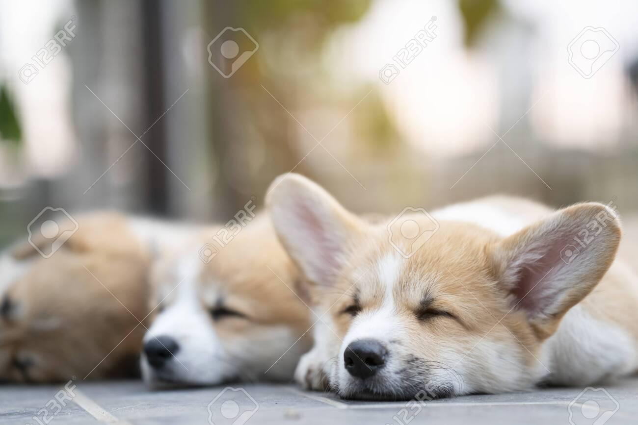 cute corgi puppies baby