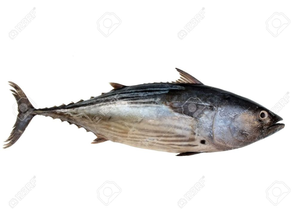 medium resolution of a tuna fish isolated on a white background stock photo 7515815