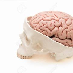 Inside Skull Diagram 1989 Mazda B2200 Stereo Wiring Top And Side View Of Human Brain Model On The White Stock Photo Background
