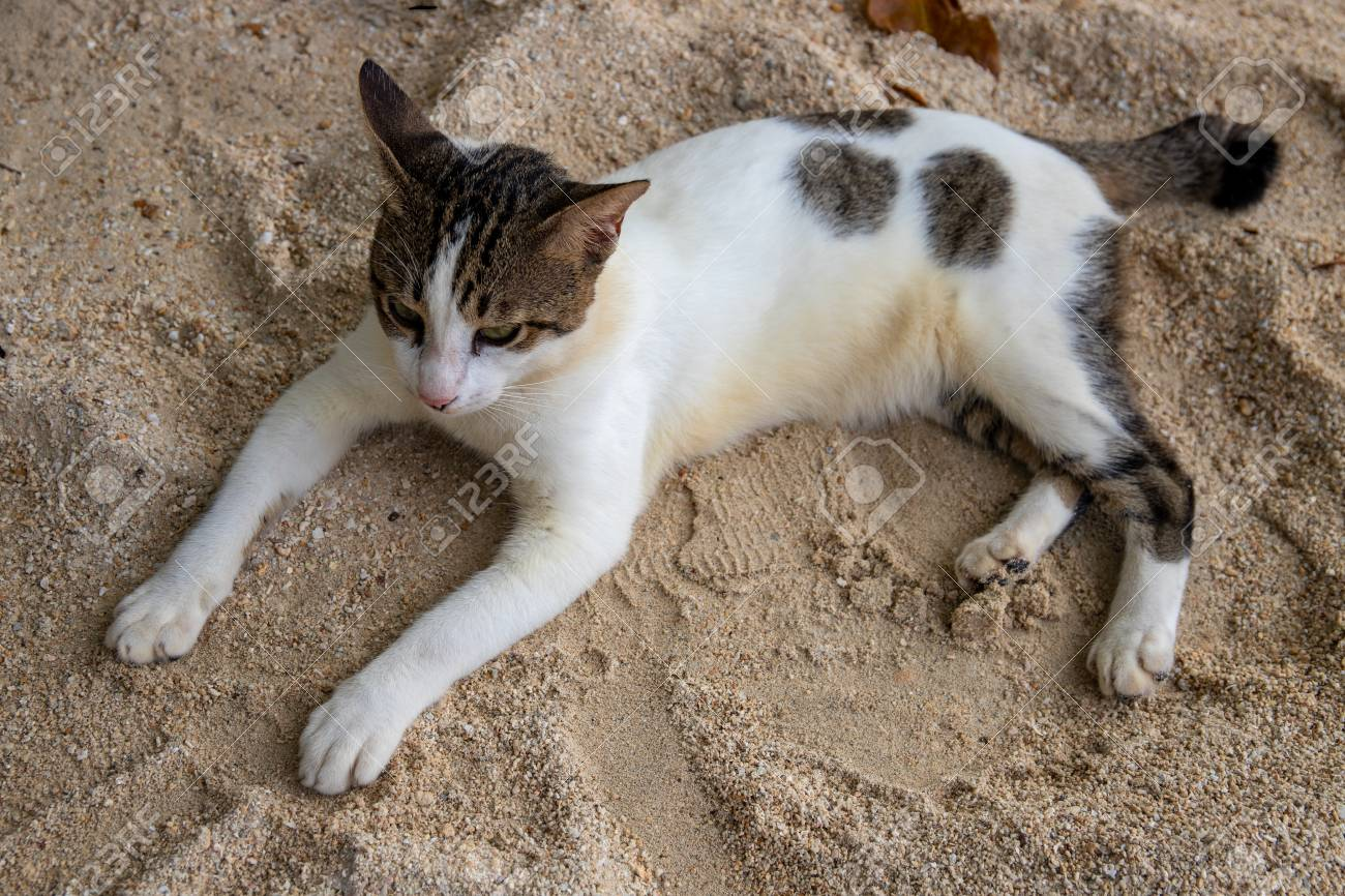 White And Black Cat On Yellow Sand Beach Summer Travel With Stock Photo Picture And Royalty Free Image Image 122278174