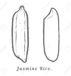 thailand seeds jasmine rice hull and rice macro closeup by sketch stock vector  [ 1300 x 1300 Pixel ]