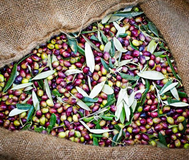 Olive Harvest Hand Picked Koroneiki Olives Collected Into Sacks In Kalamata Greece