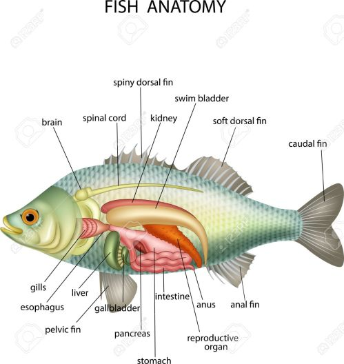 small resolution of illustration of anatomy of fish royalty free cliparts vectors and fish organ diagram