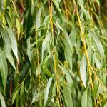 Close Up Of Willow Tree Leaves And Branches Stock Photo Picture And Royalty Free Image Image 22736045