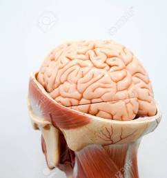 human brain anatomy model for education stock photo 90535725 [ 1300 x 867 Pixel ]