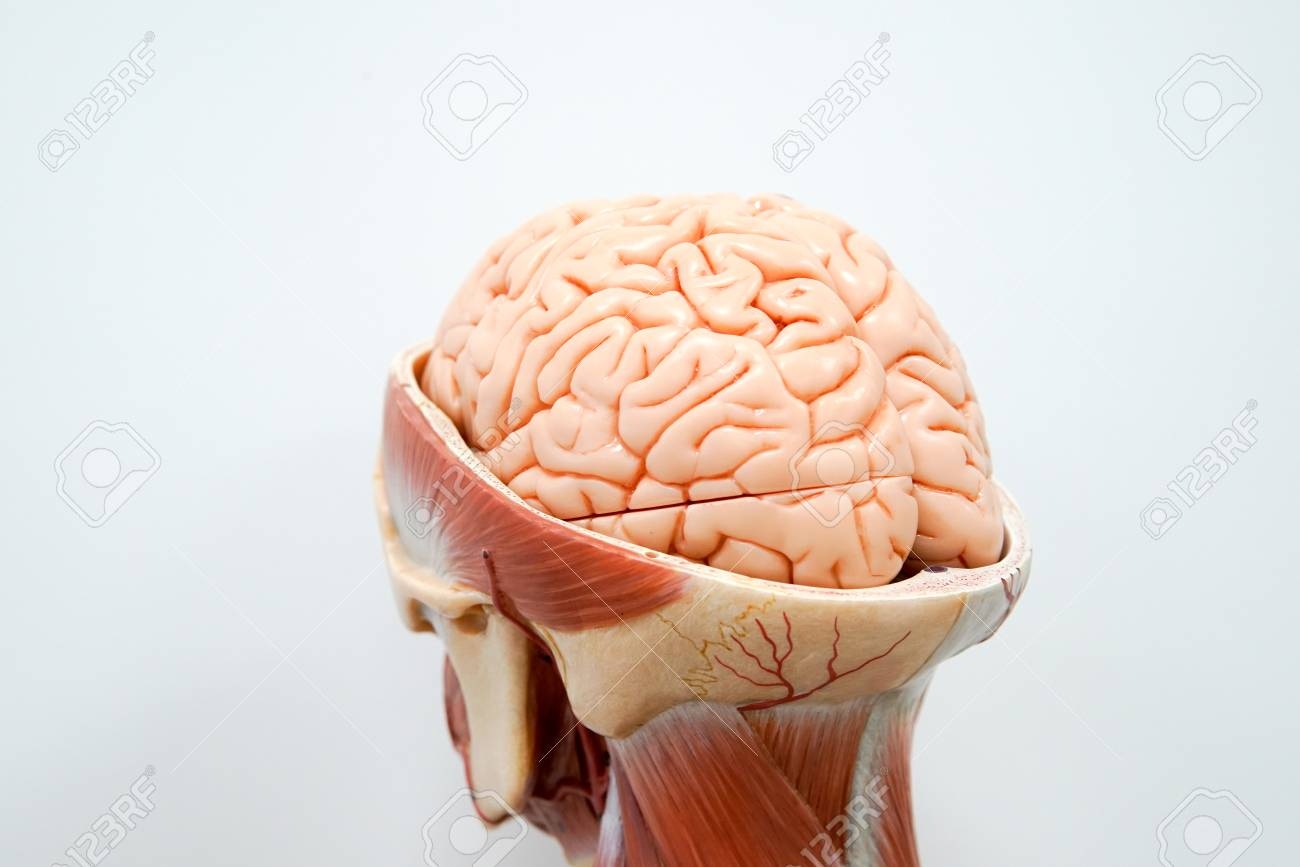 hight resolution of human brain anatomy model for education stock photo 90535725