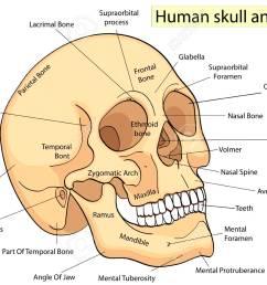 medical education chart of biology human skull diagram vector human skull parts labeled human skull diagram [ 1300 x 975 Pixel ]
