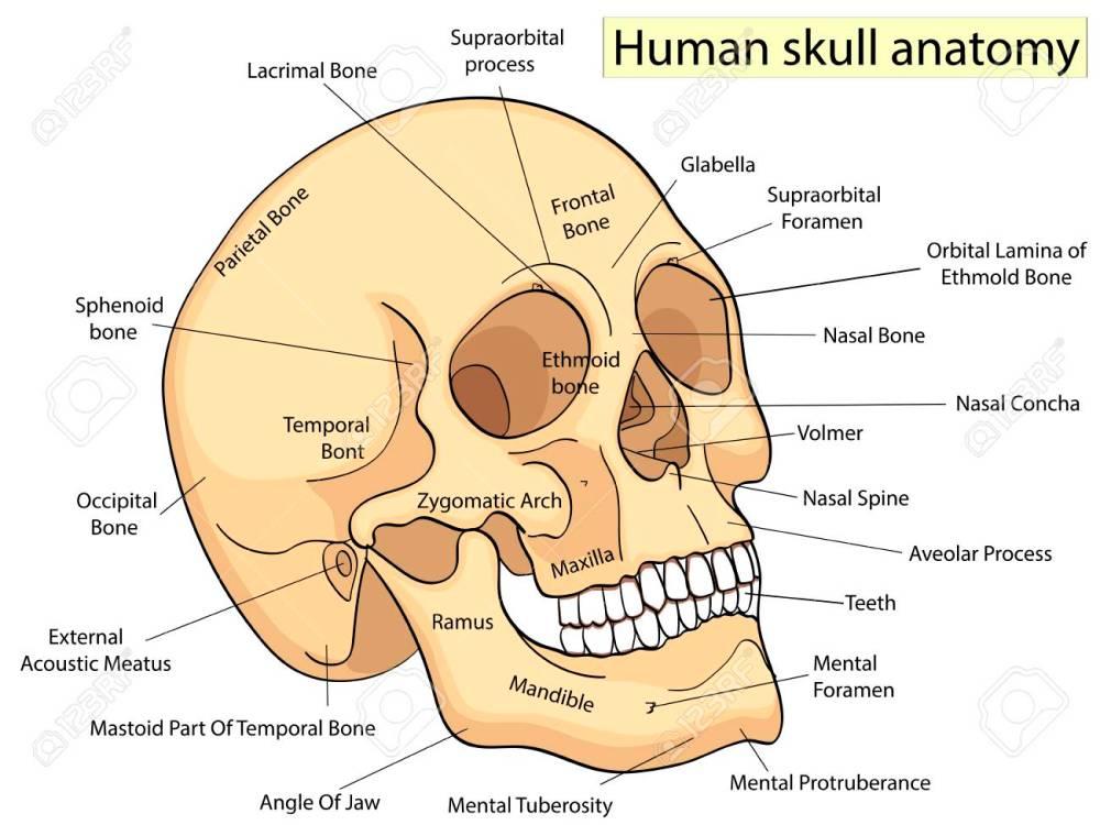 medium resolution of medical education chart of biology human skull diagram vector human skull parts labeled human skull diagram