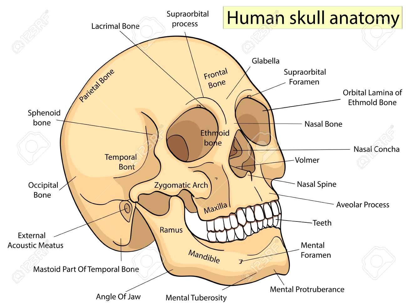 Human Skull Diagram Human Like Robot Diagram Modern Design Of
