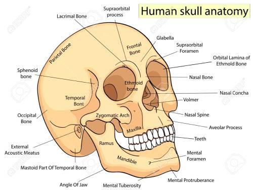 small resolution of medical education chart of biology human skull diagram vector human skull parts labeled human skull diagram