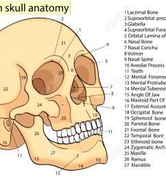 medical education chart of biology human skull diagram vector human skull diagram unlabeled human skull diagram [ 1300 x 975 Pixel ]