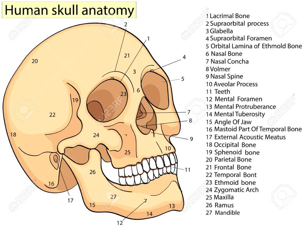 medium resolution of medical education chart of biology human skull diagram vector human skull structure human skull diagram