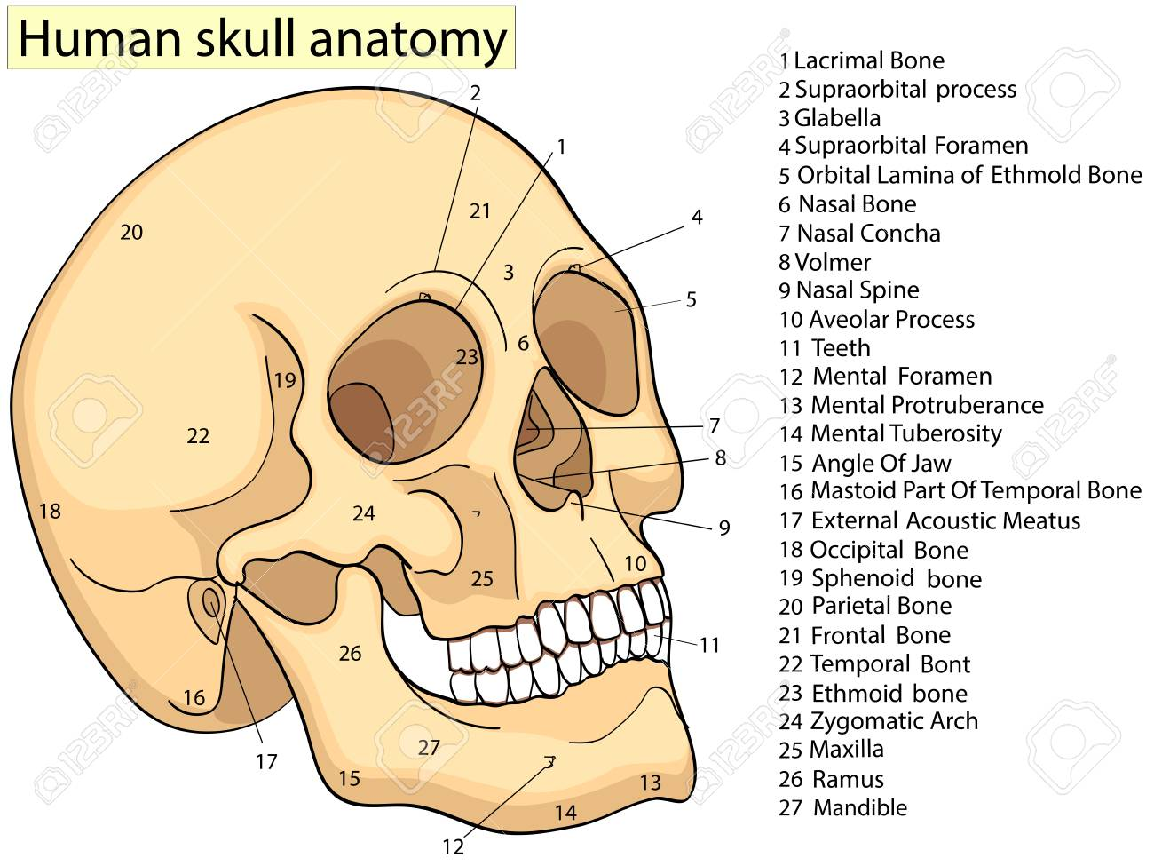 hight resolution of medical education chart of biology human skull diagram vector diagram of a human skull diagram of a skull