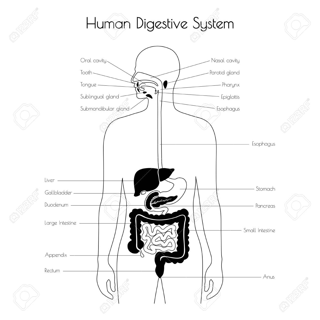 hight resolution of esophagus stomach duodenum pancreas intestine gallbladder liver pharynx icon medical information poster internal organ symbol