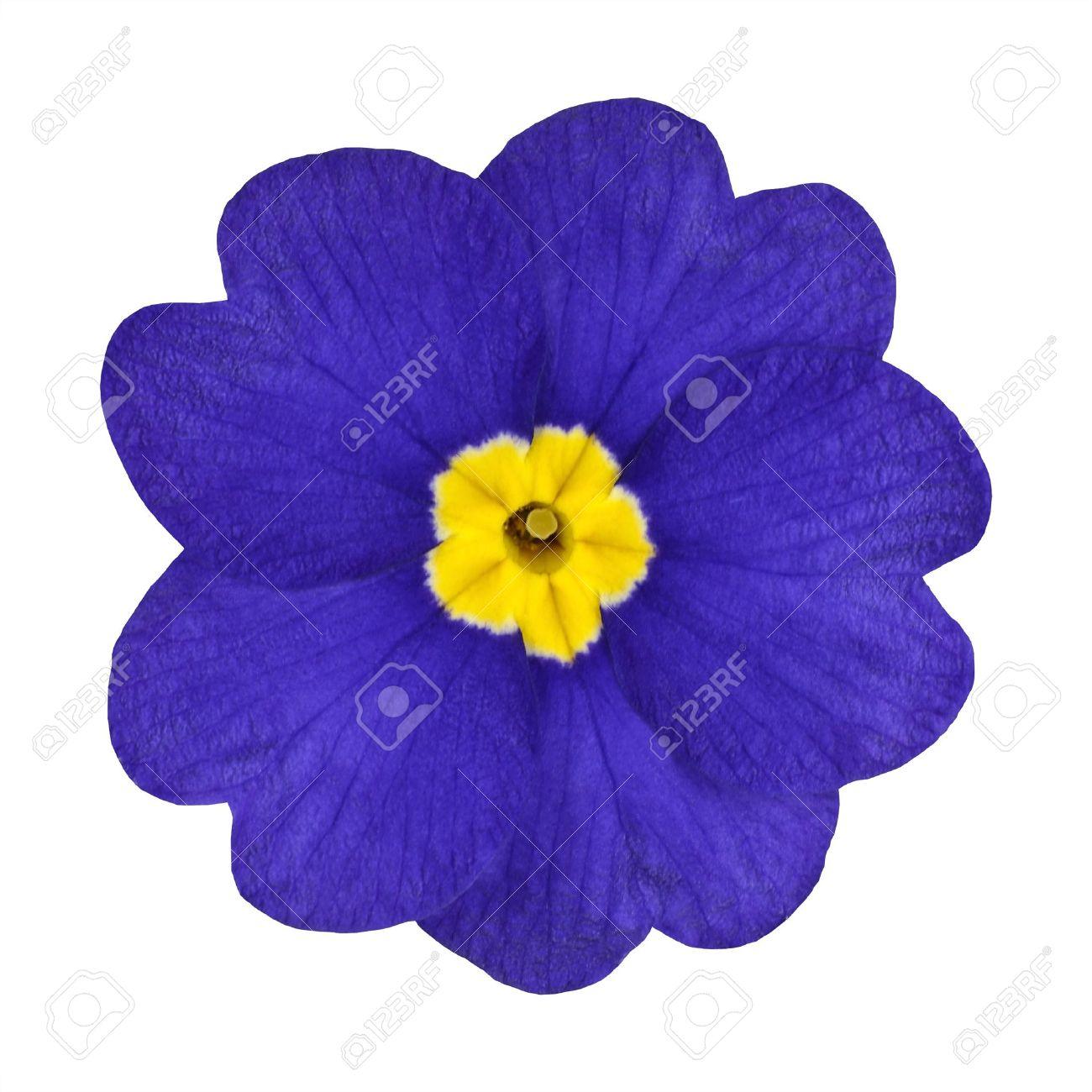 single blue primrose flower