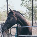 Beautiful Black Horse With White Stain On The Forehead On Wild Ranch Spanish Horse Banque D Images Et Photos Libres De Droits Image 142297399