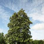 A Old Southern Magnolia Tree In The Spring Time Of The Year Stock Photo Picture And Royalty Free Image Image 4965530